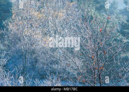 Tree saplings with a few remaining leaves covered in hoar frost on a cold winter morning as the early sunshine melts the ice. - Stock Photo