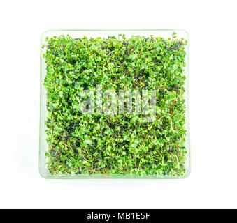 Bright green fresh microgreens salad mix sprouted in a square dish on white background - Stock Photo