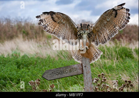 Eurasian eagle owl (Bubo bubo) landing with open wings on signpost in meadow at dusk, England, UK - Stock Photo