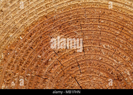 Cross-section / sectional view / cut-away section of felled Norway spruce (Picea abies) showing annual growth rings / year rings - Stock Photo
