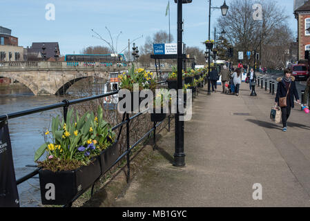 Beautiful Yellow Daffodil flowers line the river seven in Shrewsbury, Shropshire as the sun makes for a warm and dry sunshine spring day - Stock Photo