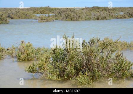 Glaucous glasswort (Arthrocnemum macrostachyum / glaucum) bushes partly submerged by a high tide in a coastal lagoon, Sotavento, Fuerteventura. - Stock Photo