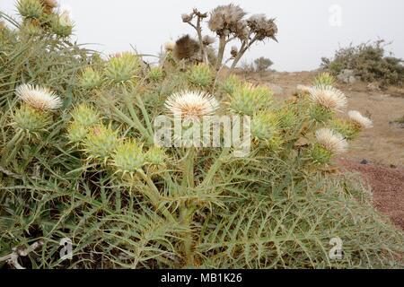 Rare white form of Cardoon / Wild artichoke (Cynara cardunculus ferocissima) flowering in a clump on an exposed, misty mountain top, Fuerteventura. - Stock Photo