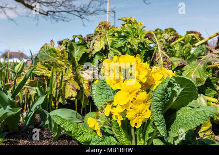 Yellow Polyanthus flower blooming in Spring in Sussex, UK. Polyanthus are a hybrid of Cowslip (Primula veris) & Common primrose (Primula vulgaris) - Stock Photo