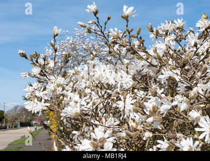 Magnolia Stellata (Star Magnolia) flowering in early Spring before leaves grow, in West Sussex, England, UK. - Stock Photo