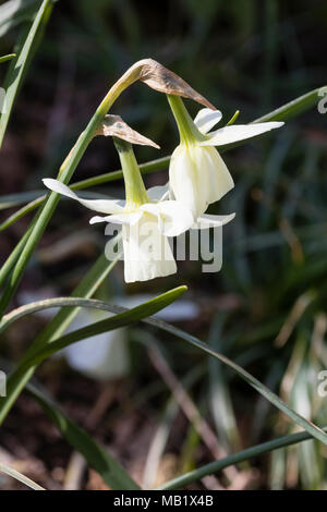 White trumpet flowers of the early spring blooming triandrus daffodil, Narcissus 'Ice Wings' - Stock Photo