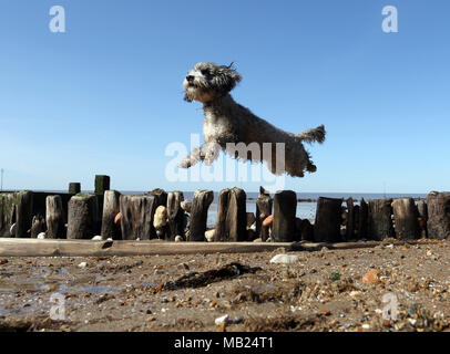 Hunstanton, Norfolk, UK. 5th April 2018. Cookie the cockapoo dog enjoys the warm weather under a blue sky at Hunstanton, Norfolk, on April 5, 2018. Credit: Paul Marriott/Alamy Live News - Stock Photo