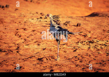 Secretary bird (Sagittarius serpentarius) on red ground in sunset light. Amboselli national park, Kenya - Stock Photo