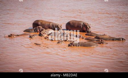 Group of  common hippopotamus (Hippopotamus amphibius), red from mud, bathing in Galana river. Tsavo East national park, Kenya. - Stock Photo