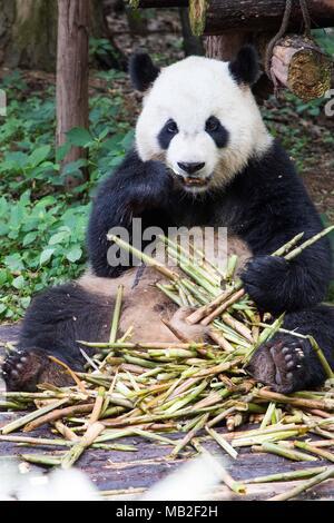 Giant panda eating bamboo grass - Stock Photo