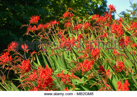 Montbretia Crocosmia x crocosmiiflora 'Lucifer' in flower in the summer in the british uk countryside - Stock Photo