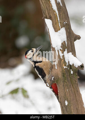 Great spotted Woodpecker Dendrocopos major male on dead trunk in snow North Norfolk February - Stock Photo