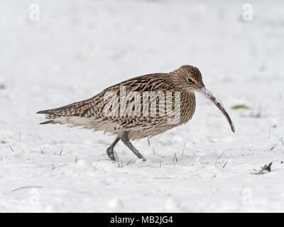 Eurasian Curlew Numenius arquata feeding in deep snow on grazing marsh Holkham Norfolk - Stock Photo