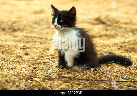 Cute black and white cat sitting on the dry hay on the farm looking forward one paw raised slightly waiting for somebody - Stock Photo