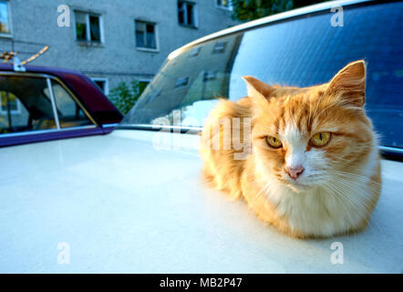 Adult ginger cat with a bright yellow eyes sitting on the white car looking straight into the camera, copy space on the left - Stock Photo