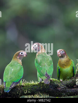 Brown-hooded Parrots (Pyrilia haematotis) perched on branch - Stock Photo