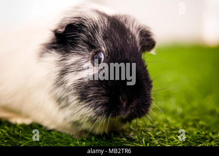 close-up of a small black and white guinea pig  or Cavia porcellus with black eyes on a green artificial grass - Stock Photo