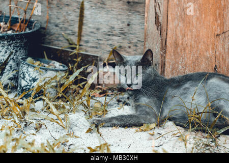 Green eye blue russian cat lies on the ground under wooden house. Koh Rong Samloem island, Cambodia - Stock Photo