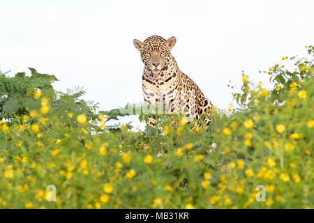 Jaguar (Panthera onca) sitting on riverbank behind yellow flowers, looking at camera, Pantanal, Mato Grosso, Brazil - Stock Photo