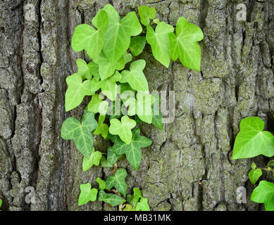 Growing or climbing ivy on a tree trunk, closeup shot with copy space. - Stock Photo