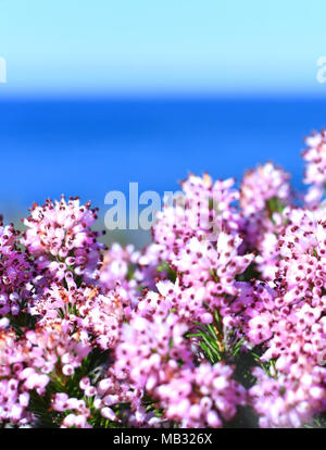 Pink heather or erica flowers, closeup shot of blooming heather and sea. - Stock Photo