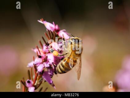 Honey bee (Apis mellifera) in bloom from Winter heath (Erica carnea), Bavaria, Germany - Stock Photo