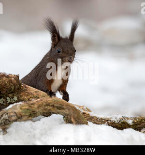 Eurasian red squirrel (Sciurus vulgaris) on the ground in the snow, Tyrol, Austria Stock Photo