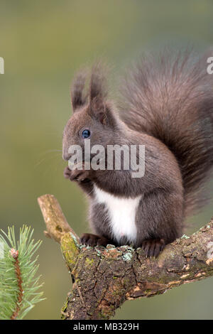 Eurasian red squirrel (Sciurus vulgaris) sits on branch of Pine (Pinus) and eats nut, Tyrol, Austria - Stock Photo
