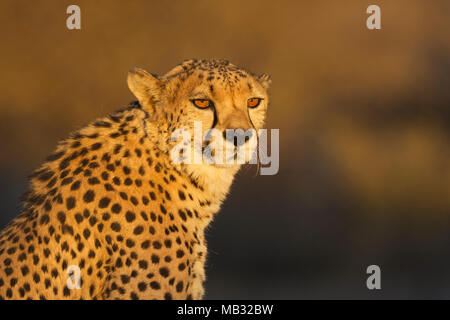 Cheetah (Acinonyx jubatus), male, animal portrait, in the evening light, captive, Namibia - Stock Photo