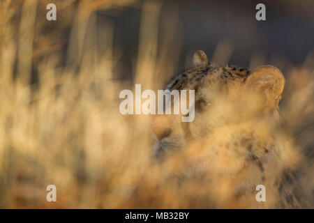 Cheetah (Acinonyx jubatus), male, resting in high grass, captive, Namibia - Stock Photo