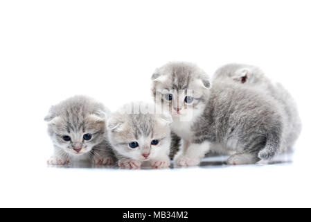 Small newborn cute kittens being curious and anxious while exploring world around them on photoset in white studio. Gray cute adorable fluffy cats playing blue eyes paws fur happiness - Stock Photo