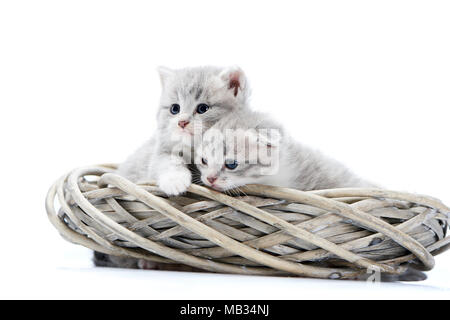 Two small blue-eyed newborn fluffy kittens being curious and looking to the side while playing in white wicker wreath in white photo studio. Adorable cute interested kitties gray photoset photosession - Stock Photo