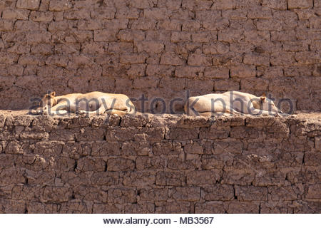 Two street dogs sleeping on the mud brick steps outside of Edfu Temple in Egypt. - Stock Photo