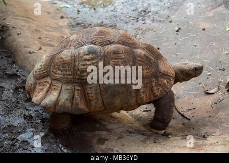 Leopard tortoise, Stigmochelys pardalis, Testudinidae, Kenya, Africa