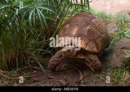 Leopard tortoise, Stigmochelys pardalis, Testudinidae, Kenya, Africa - Stock Photo