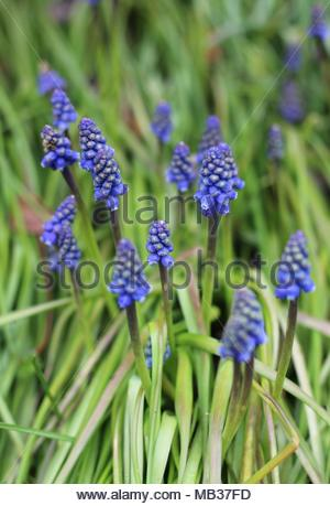 Border of blue urn shaped Grape hyacinth's ( Muscari) at a garden, Wickford, Essex, UK. - Stock Photo