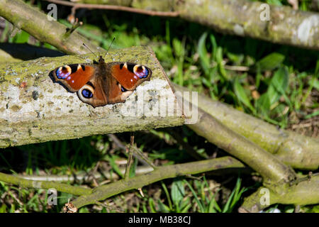 Peacock Butterfly resting on wooden tree branch warming up in spring sunlight - Stock Photo