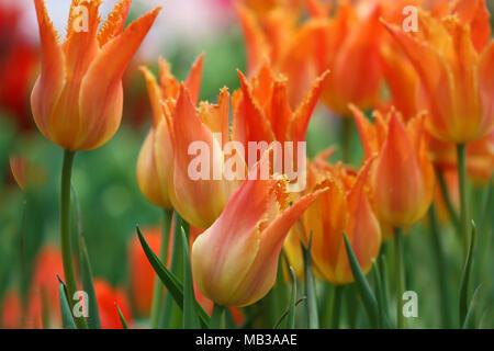 Tulips the blossoming close up. Flower bright background horizontally.  Macro.Tulipa. Liliaceae Family. - Stock Photo