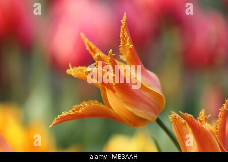 Tulip orange on bright motley blurring a  background of a horizontal. Macro.Tulipa. Liliaceae Family. - Stock Photo