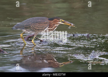 An adult green heron after snaring a minnow from Oneida Lake, New York, USA. - Stock Photo