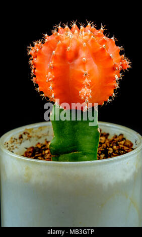 Close up of a Orange Moon Cactus against a black background - Stock Photo