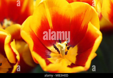 Tulips top view . A spring blurring  background with bright tulips horizontally. Macro. Macro.Tulipa. Liliaceae Family. - Stock Photo