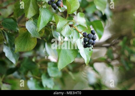Ivy berries against a blurred background - Stock Photo