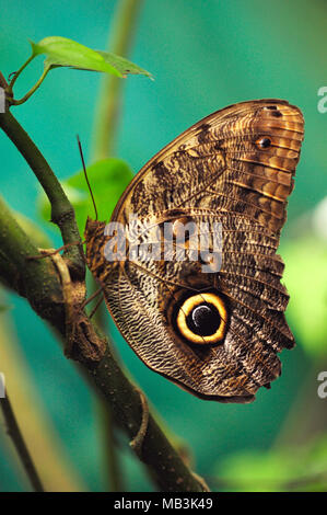 Caligo eurilochus, the forest giant owl, is an owl butterfly, sits atop a branch. - Stock Photo