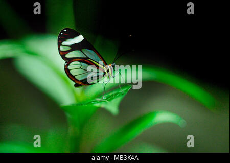 The Glasswinged butterfly (Greta oto) is a beautiful brush-footed butterfly that exhibits a number of interesting behaviours, such as long migrations  - Stock Photo