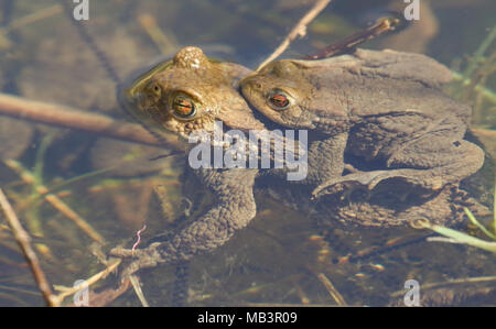 Two mating Common Toads (Bufo bufo) submerged in the water spawning at the edge of a lake on a sunny spring day. - Stock Photo