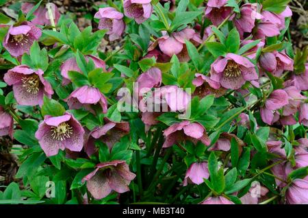 Helleborus orientalis Lenten Rose Christmas rose hellebores flowers - Stock Photo