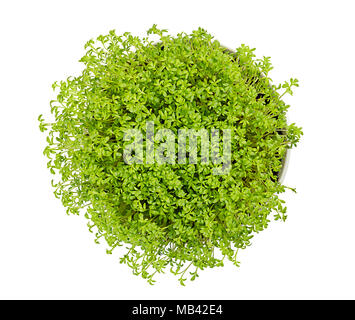 Garden cress in white bowl, from above, over white. Microgreen and edible herb. Fresh sprouts and young leaves. Also mustard and cress or pepperwort. - Stock Photo