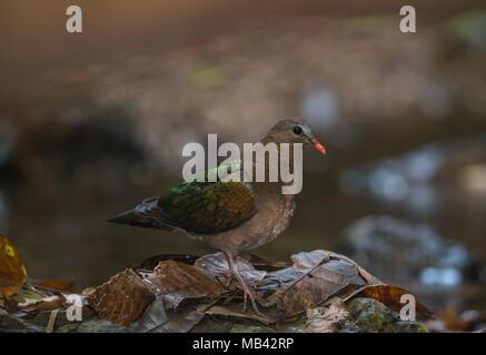 The common emerald dove, Asian emerald dove, or grey-capped emerald dove (Chalcophaps indica) - Stock Photo