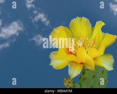 Opuntia ficus-indica. Indian fig in flower. - Stock Photo